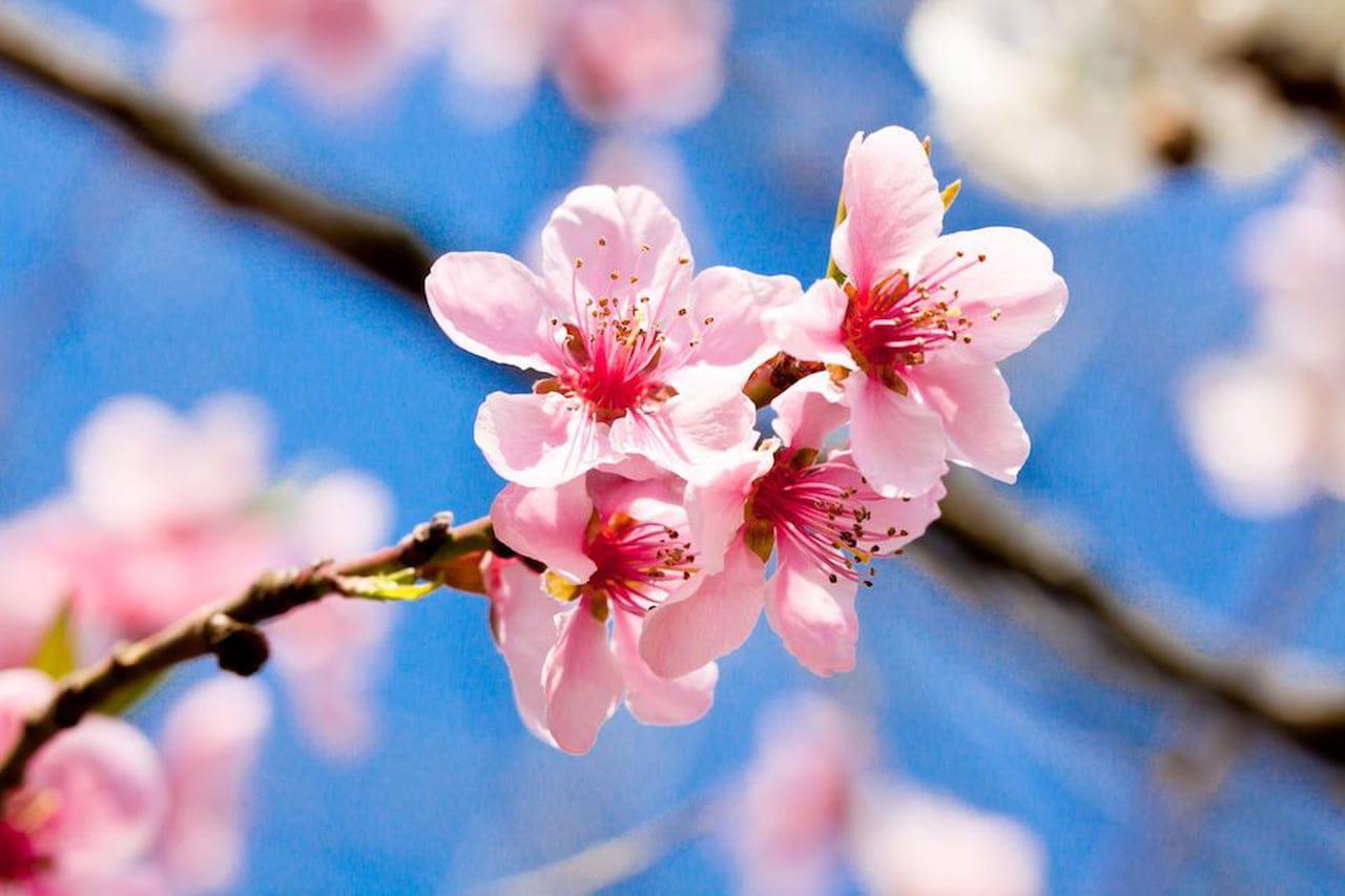 Fiori Di Ciliegio.Fiori Di Ciliegio Il Significato Dei Fiori Sakura Magazine