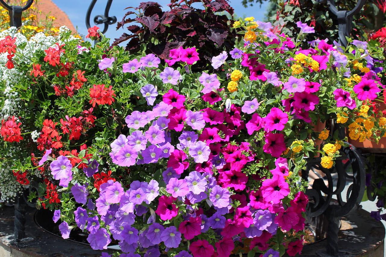 Fiori Da Balcone Ombra fiori da balcone: per tutti i gusti (ed esposizioni