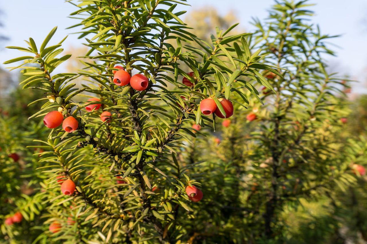 Alberi Ad Alto Fusto Quali Sono alberi sempreverdi: quali sono - magazine delle donne